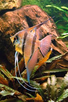 die 100 besten bilder zu skalare/angelfish in 2020 | skalar, aquarium fische, süßwasserfische