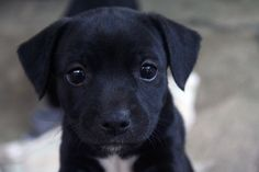 Black lab puppy, looks so much like me baby Manny. So sweet with those concerned lab eyes.