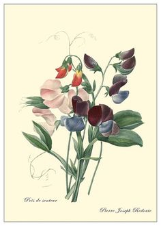 1032 Sweetpea This carefully restored botanical is by the famous Flemish painter Pierre Joseph Redouté (1759-1840)