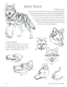 Drawing Animals Tips Wolf Anatomy *Refrences Included* : Balto Fan art Animal Sketches, Animal Drawings, Drawing Sketches, Art Drawings, Cool Wolf Drawings, Sketching, Drawing Tips, Dog Anatomy, Anatomy Art