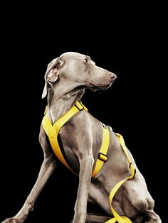 Form Harness - Spring / Summer 2017 by Rukka Pets Collar And Leash, Collars, Fashion Forms, Weimaraner, Doggies, Pretty Girls, Pitbulls, Spring Summer, Pets