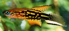 1000+ images about killifish on Pinterest Tropical Aquarium, Fish ...