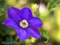 Spätsommerfreude: Blumenbild blaue Clematis im Garten