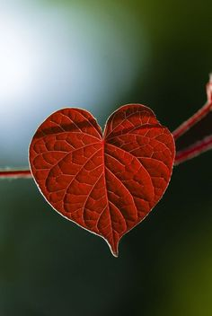 Heart shaped leaf - hearts in nature