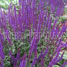 image de Salvia nemorosa Caradonna