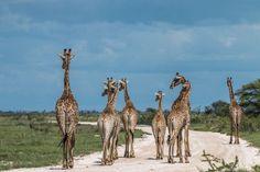 Giraffen in Etosha Himba People, Namibia, Okavango Delta, Hunter Gatherer, Morocco, Animales, Honey Badger, Round Trip