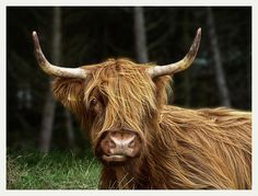 Highland Cow.. I looked for these everywhere in Scotland. I want one :)