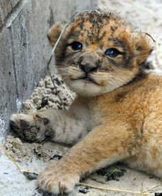baby lions are the cutest