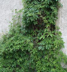 imukärhivilliviini.jpg (472×506) Parthenocissus guinguefolia Engelmannii