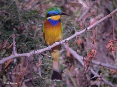 Blue-breasted Bee-eater, Ethiopia