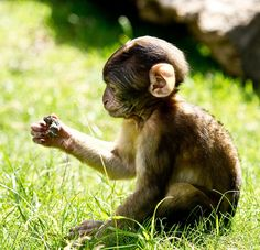 wow-barbary macaques@  trentham monkey forest