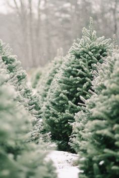 On a snowy day, photographer Justina Bilodeau dropped in for a visit on the old Dyer-Hutchinson farm in southern Maine (in operation since 1787) and found out where Christmas trees come from: