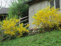 Bahar başında açan Forsythis-Altın Çanak çalısının bakımı ve yetiştirilmesi hakkında bilgiler Plants, Plant, Planets