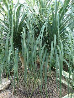 Beaucarnia recurvata, 'Ponytail Palm'
