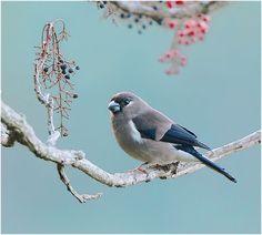 Brown Bullfinch, taken at DaSyueShan, Taichung County, TAIWAN
