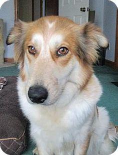 12/14/16 Murrells Inlet, SC - Sheltie, Shetland Sheepdog/Australian Shepherd Mix. Meet Maggie May, a dog for adoption. http://www.adoptapet.com/pet/17214431-murrells-inlet-south-carolina-sheltie-shetland-sheepdog-mix