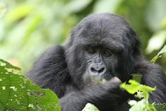 Don't miss out on gorilla tracking on your next trip to Uganda!