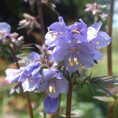 Polemonium yezoense 'Purple Rain Strain' - 50cm tall