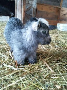 I love this pygmy goat - I want!
