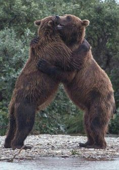 Now that's a bear hug! Large Animals, Animals And Pets, Baby Animals, Funny Animals, Cute Animals, Bear Pictures, Animal Pictures, Beautiful Creatures, Animals Beautiful