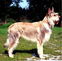 picardy sheepdog photo | Picardy Sheepdog, Berger Picard