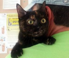 C-58902 Juju is an adoptable Tortoiseshell, Domestic Short Hair Cat in Mount Holly, NJ Juju is a petite, friendly, outgoing, female tortoiseshell cat. Her soft coat is black and red. ... ...Read more about me on @petfinder.com