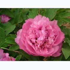 Amazon.com : Best Garden Seeds Very Rare Heirloom 'Hong Hui' Red Peony Shrub Perennial Flower Seeds, Professional Pack, 5 Seeds / Pack, Strong Fragrant Flower : Patio, Lawn & Garden
