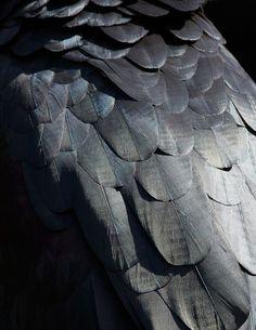Black | Beautiful Abstract Bird Plumage Photographs by Thomas Lohr