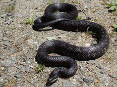 Do not kill this snake-This is a black Rat snake (chicken snake) they eat mice rats small birds and eggs non venomous