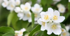 The jasmine is not only easy to take care indoors, but also possess a very pleasant scent.