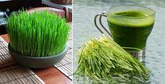 10 Tips para crecer el Wheatgrass (pasto de trigo) en tu cocina. Conoce sus maravillosos beneficios | Vida Lúcida