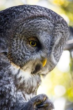 Owl Owl Species, Strix Nebulosa, Great Grey Owl, Power Animal, Curious Creatures, Big Bird, Owl Art, Cute Owl, Bird Feathers