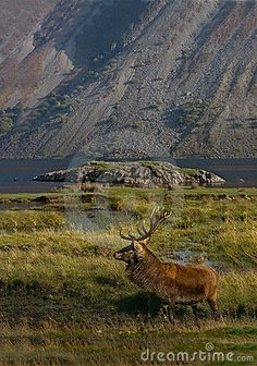 A Red Deer Stag in the Highlands of Scotland.