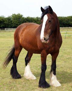 red shire horse - Recherche Google