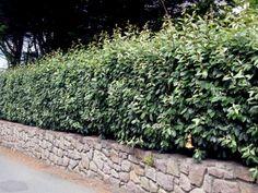 Als Hecke eignet sich die wintergrüne Ölweide (Elaeagnus ebbingei) sehr gut. Sie erträgt einen regelmässigen Schnitt ausgezeichnet. Foto © PlantaPro