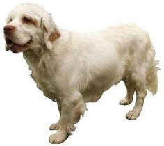 """The Clumber Spaniel - the """"'Aristocrat of Spaniels"""" Clumber Spaniel Puppy, Spaniel Puppies, Dog Fails, Dog Breeds List, Best Dogs, Pets, Spaniels, Animals, British"""