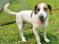 WV Reuben has been Looking for a home of his own for a LONG TIME Beagle Mix • Adult • Male • Medium. Has been at the shelter for a few years. Needs to be only dog