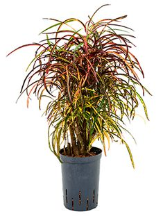 Large Indoor Plants, Potted Plants, Exotic Plants, Tropical Plants, Tree Leaves, All Flowers, Types Of Plants, Container Plants, Houseplants