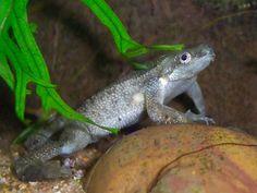 African Frogs, Dwarf Frogs, Pac Man, Fish, Pets, Aquarium, Animals, Goldfish Bowl, Animales