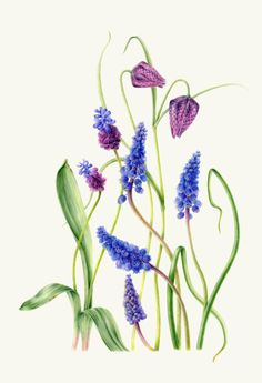 Botanical Drawings | Annie Patterson - Muscari and Frittilaria meleagris