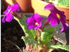 Primula Pearl Von Bottrop - Le jardin de Taurignan, producteur de plantes vivaces