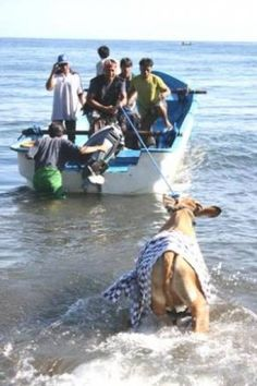 Quick links to share the petition: Indonesia: Stop drowning cows in the sea for religious purposes! | Yousign.org