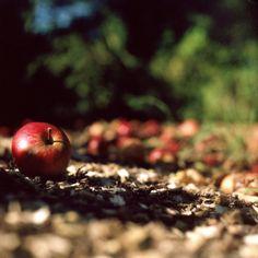 Autumn Apples   Flickr - Photo Sharing!