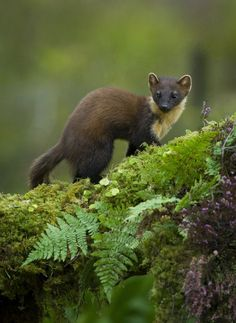"creatures-alive: "" (via pine martin by Geoff Stoddart / "" Forest Creatures, All Gods Creatures, Woodland Creatures, Forest Animals, Nature Animals, Animals And Pets, Cute Animals, Wildlife Photography, Animal Photography"