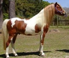 """Abstang is a very new """"breed"""" or actually it's not even an actual breed yet but a cross between Mustang and Arabian. the registry was founded on 1993 but so far there hasn't been reported Abstang-Abstang - crosses. Ideally Abstang combines the best qualities of Arabians and Mustangs: their hardiness, willingness, endurance, surefootedness, fearlessness and common sense. The conformation varies a lot, depending of the parents. Also colors are varied."""
