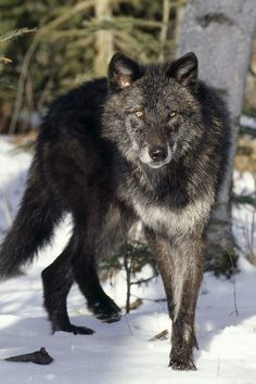 wolfalphawolf