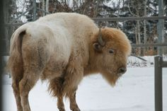 YAY I got to see the white buffalo. This is not an albino buffalo. It is an actual White Buffalo which are very rare. Animals Beautiful, Cute Animals, Wild Animals, Unique Animals, Large Animals, Beautiful Creatures, Buffalo Pictures, Bison Pictures, Native American Religion
