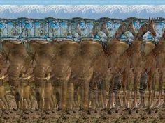 3D PHOTOGRAPH----giraffe CAN YOU SEE IT? | Magic-Eye in ...