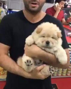 いいね!5,320件、コメント163件 ― Chow puppiesさん(@chowpuppies.insta)のInstagramアカウント: 「When I was a puppy 🐣 From @leonthechow #chowchow #chowchows #chowchowsofig #chowchowgallery…」