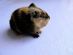 Boris by curse10renz, via Flickr guinea pig baby pup